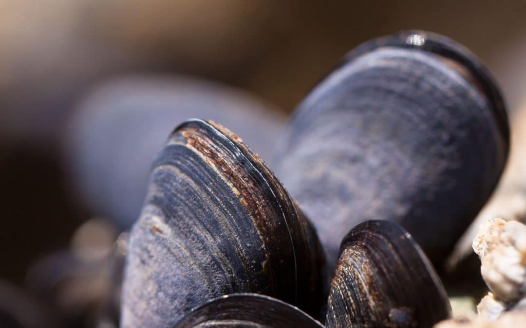 Preserving endangered freshwater mussels in the Ohio River with a Smart Water Project